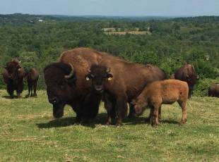 Cape Chin Bison Farm